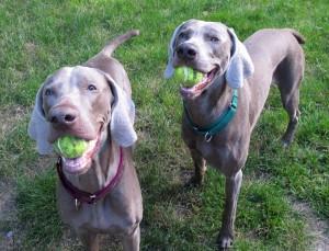 Weims tennis balls